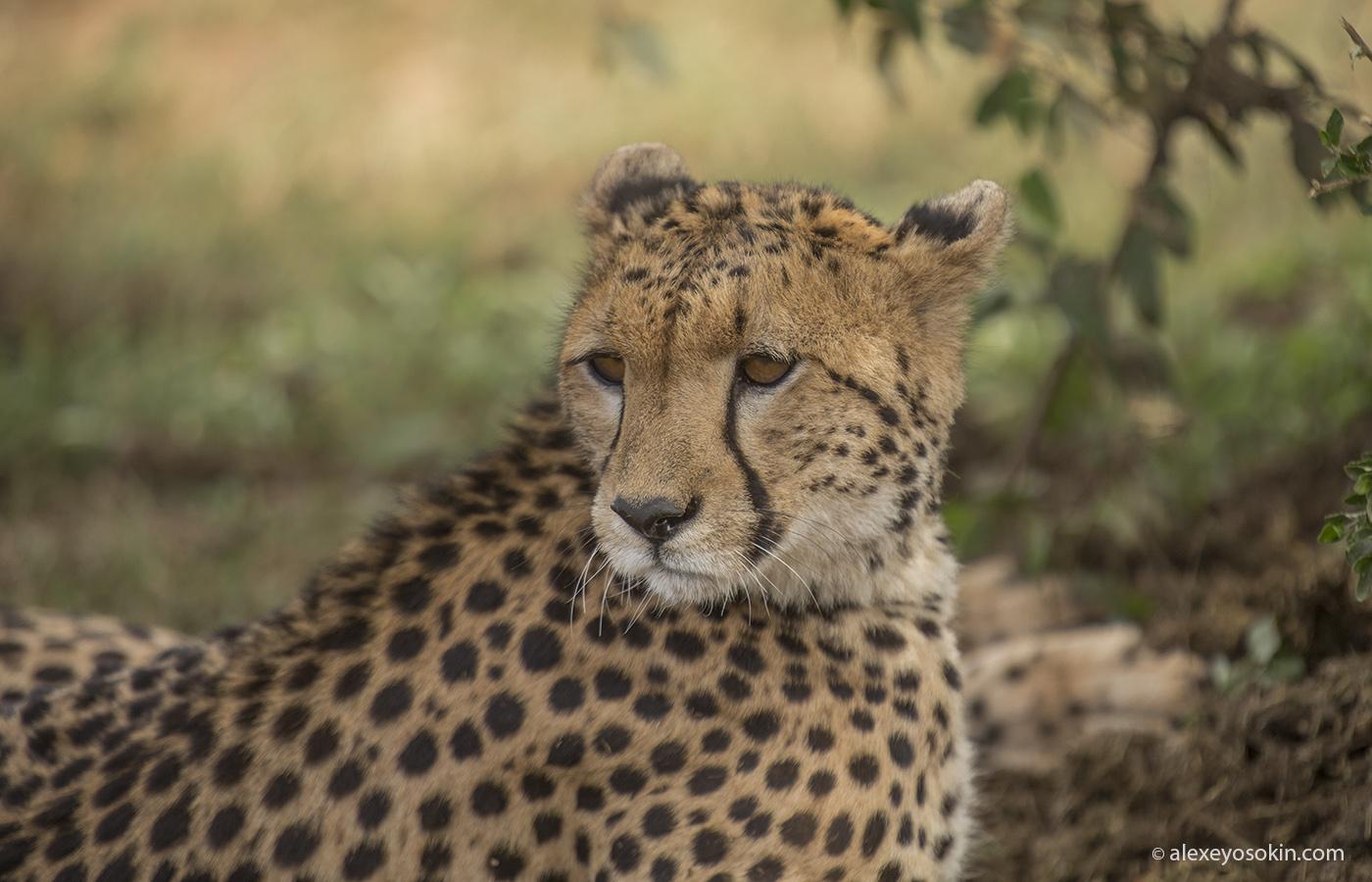 cheetah_hunting_01_ao