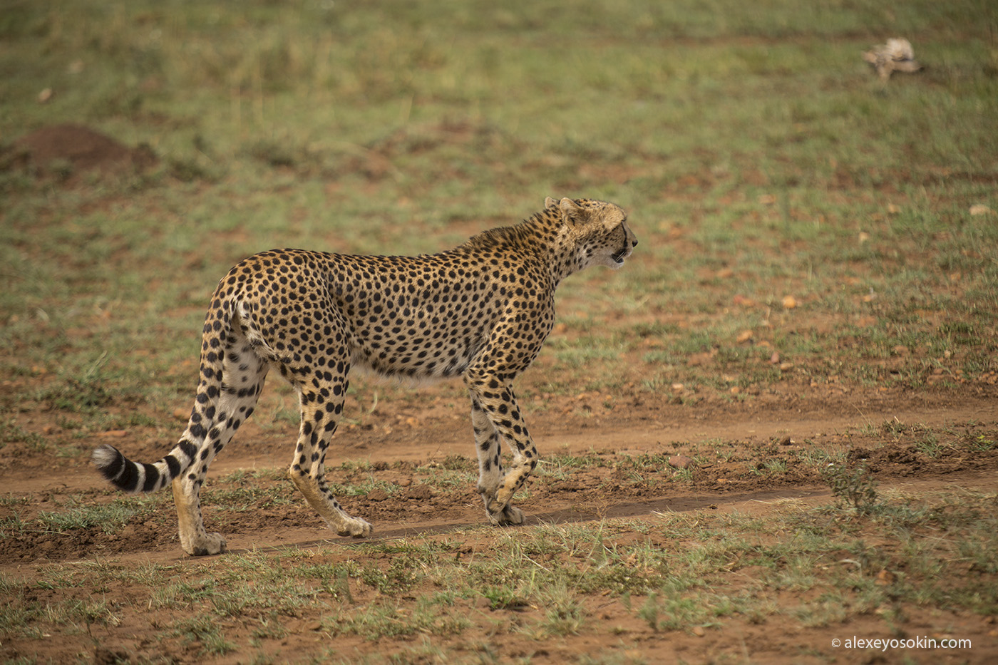 cheetah_hunting_03_ao