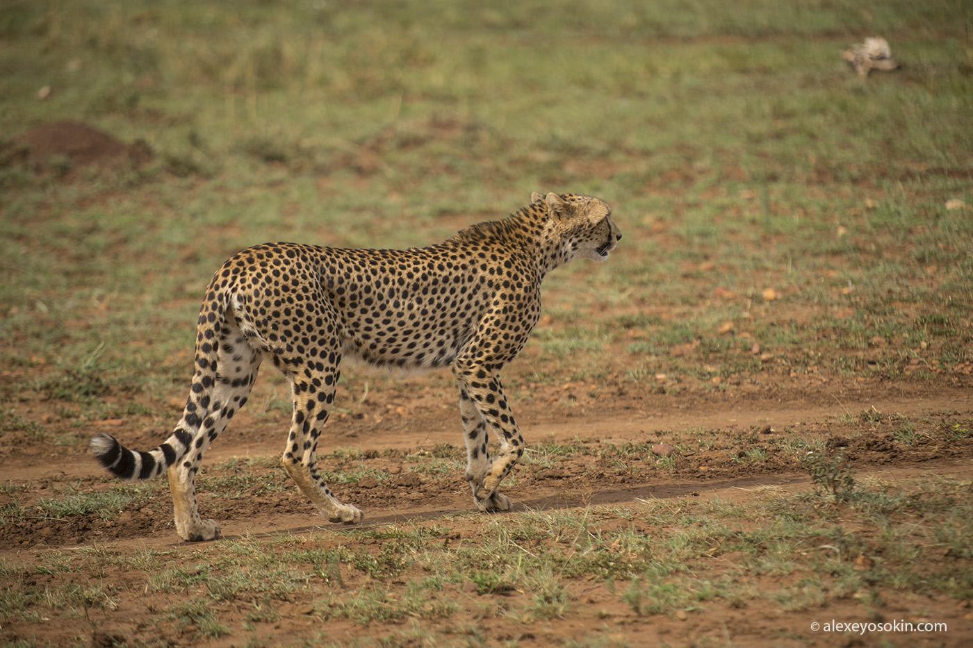 cheetah_hunting_03_ao