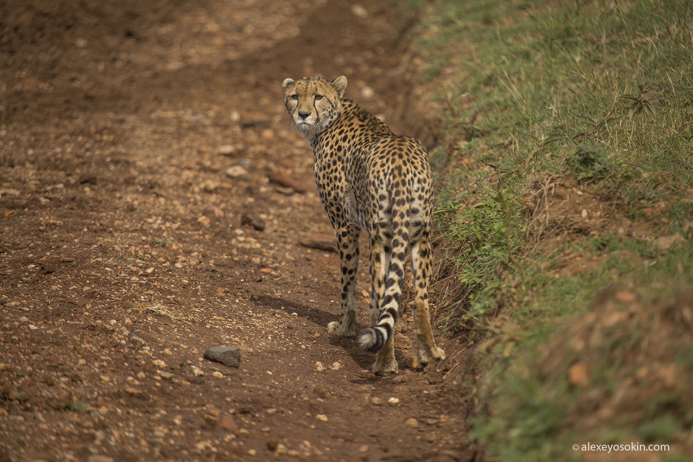 cheetah_hunting_04_ao