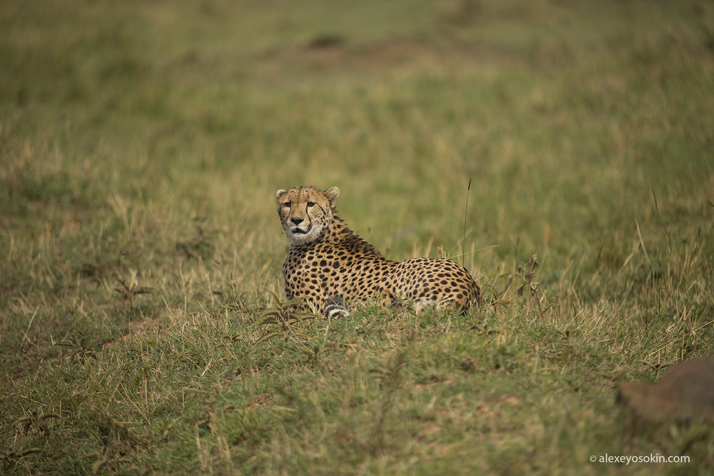 cheetah_hunting_05_ao