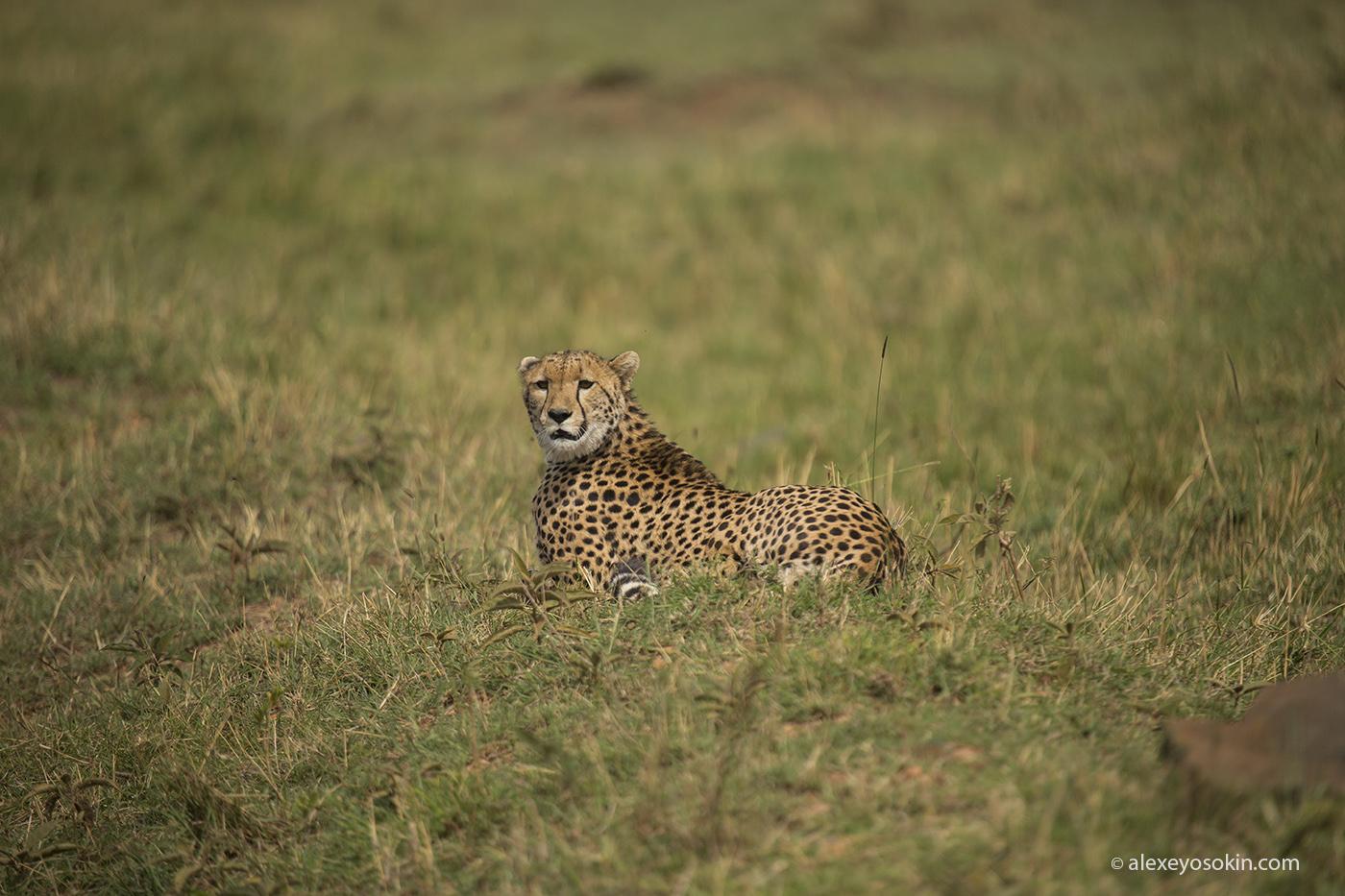 cheetah_hunting_05_ao
