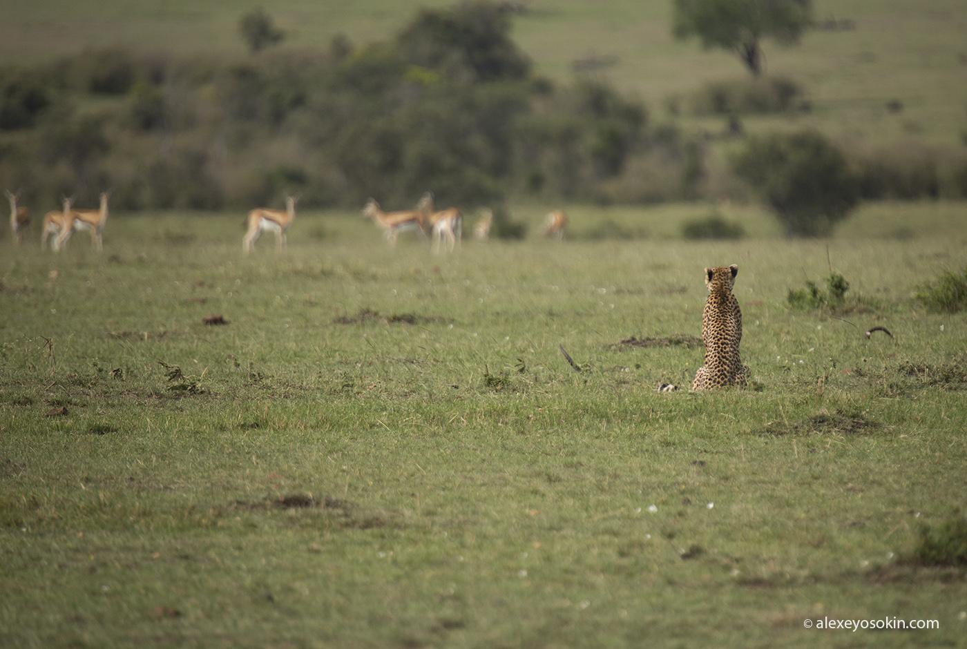 cheetah_hunting_06_ao