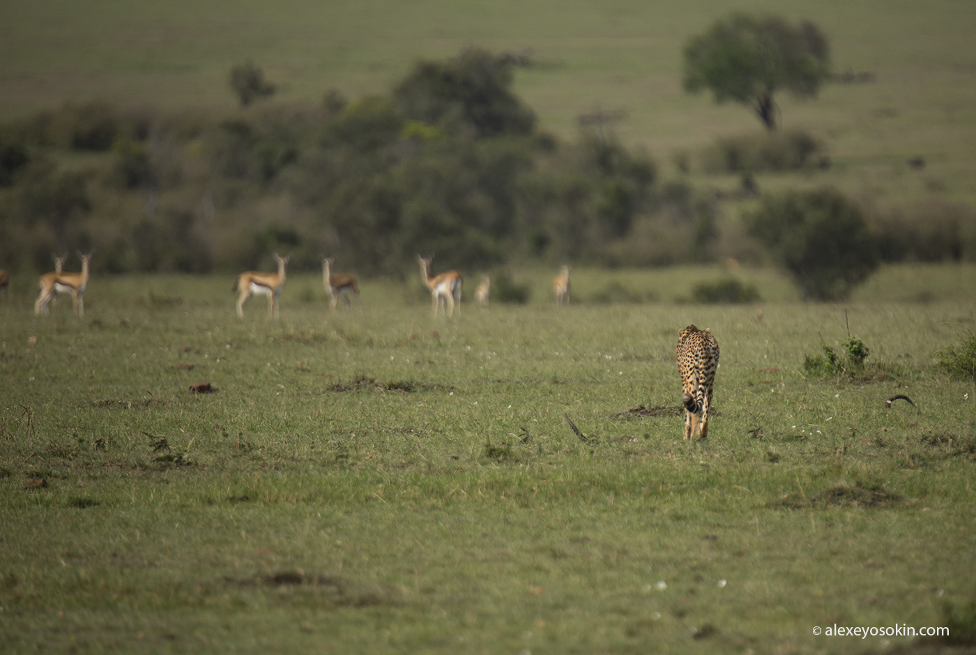 cheetah_hunting_07_ao