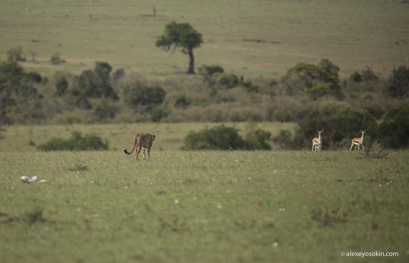 cheetah_hunting_08_ao
