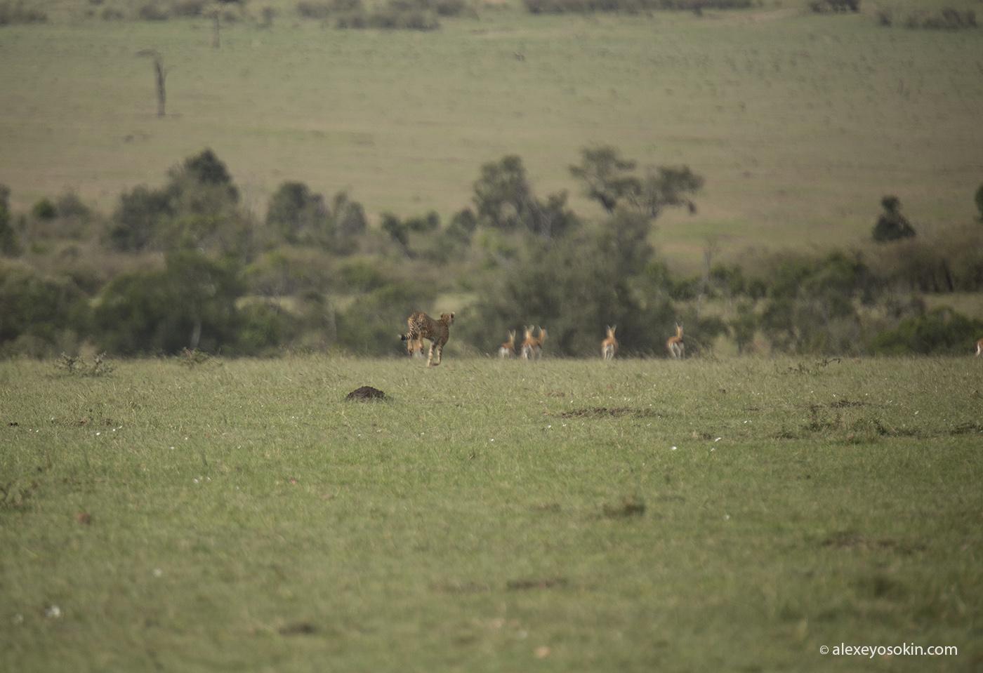 cheetah_hunting_09_ao