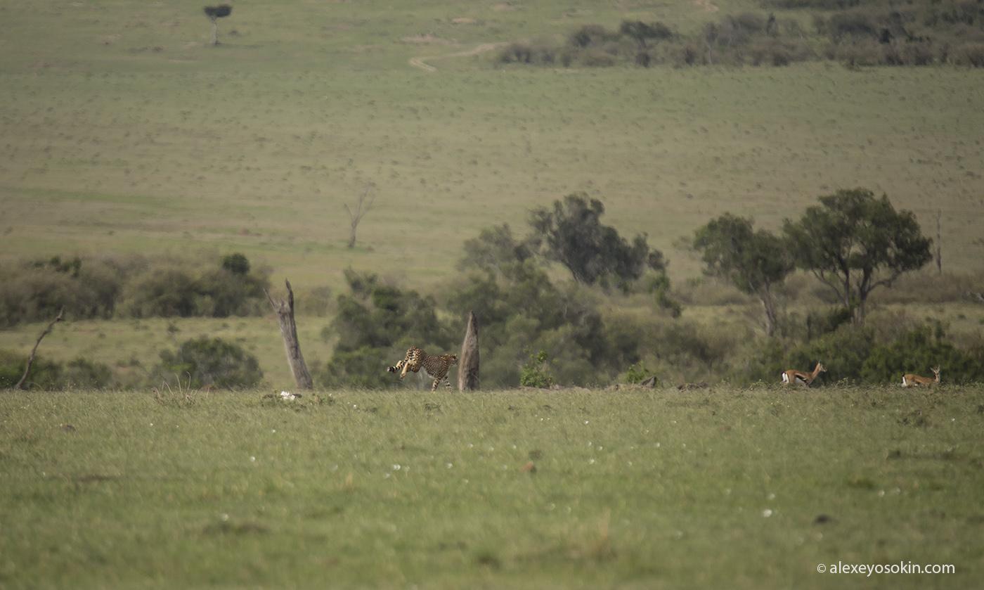 cheetah_hunting_10_ao