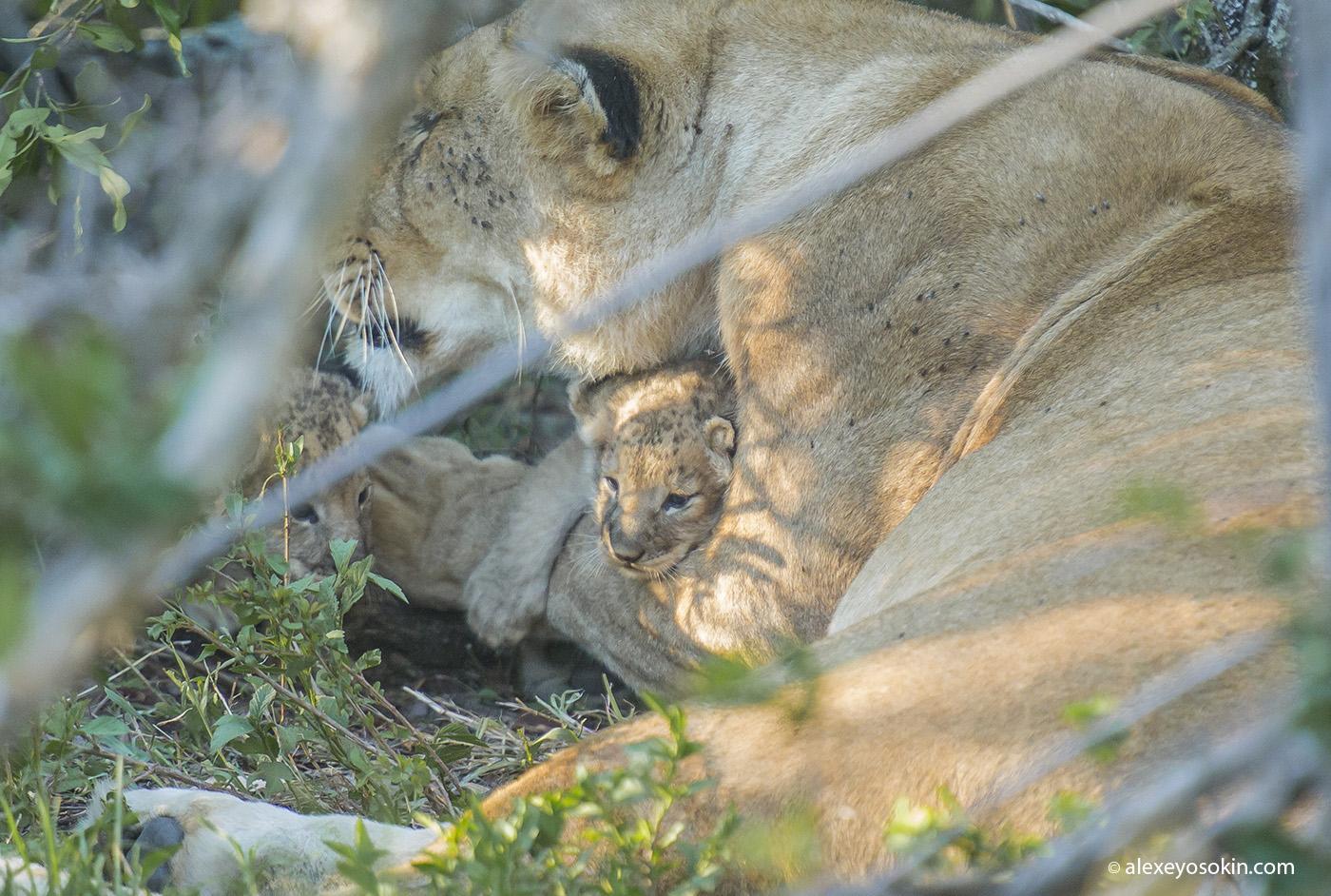lion_cubs_07_ao