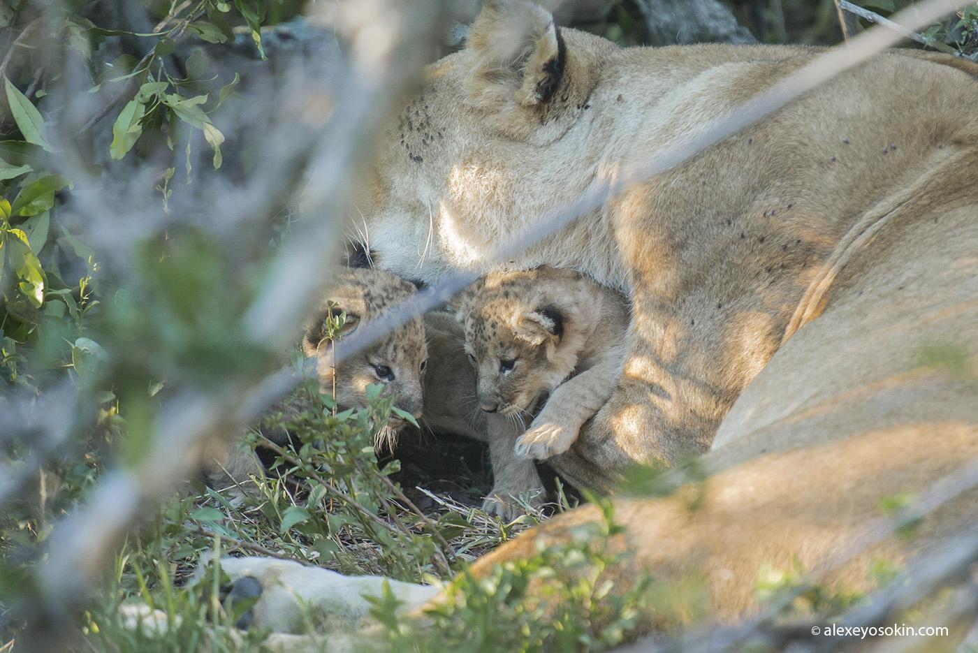 lion_cubs_08_ao
