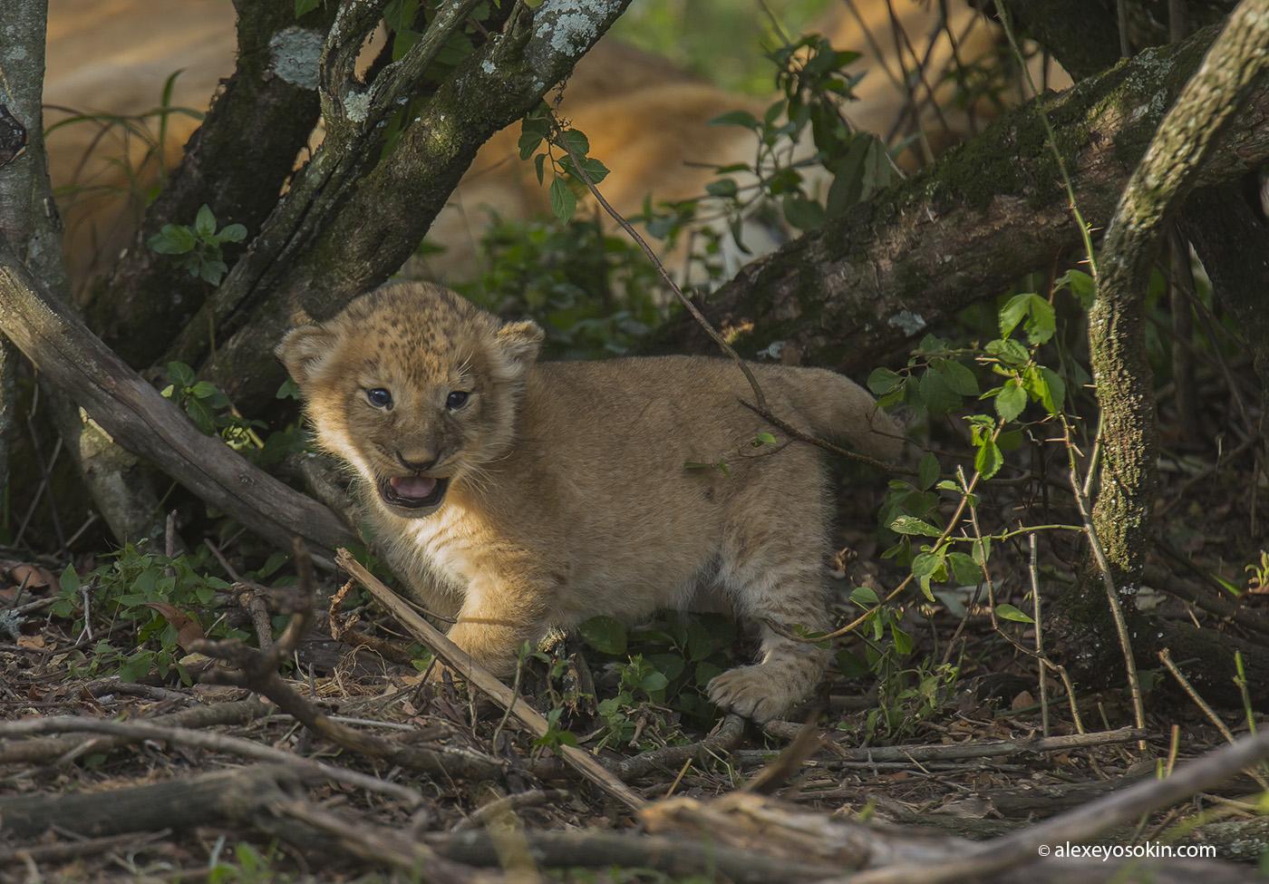 lions_cub_00_ao