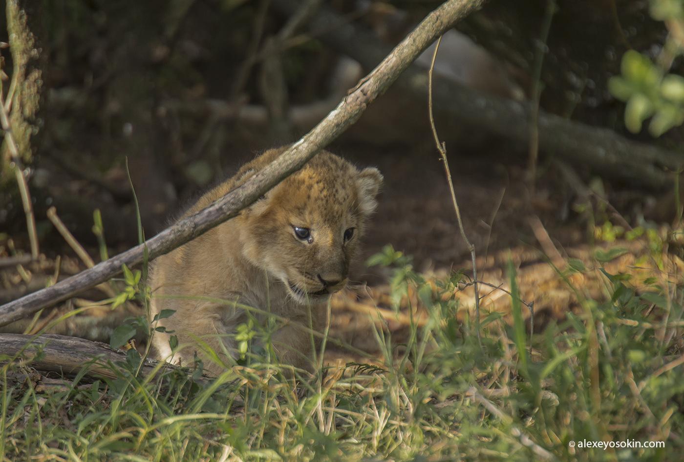lions_cub_01_ao