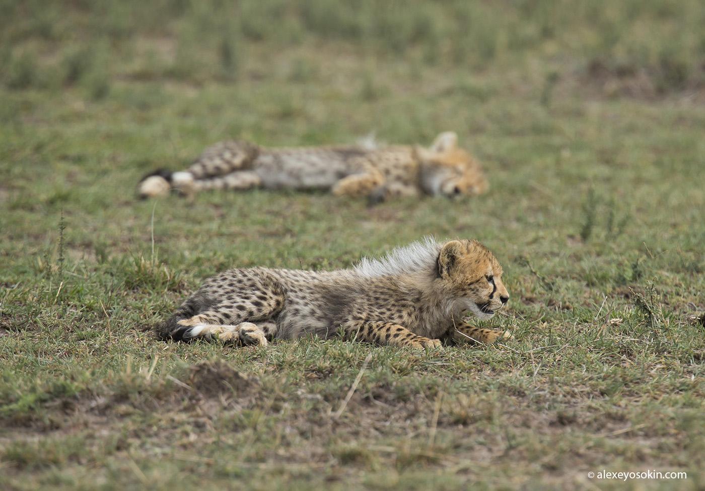 cheeta_cubs_02_ao