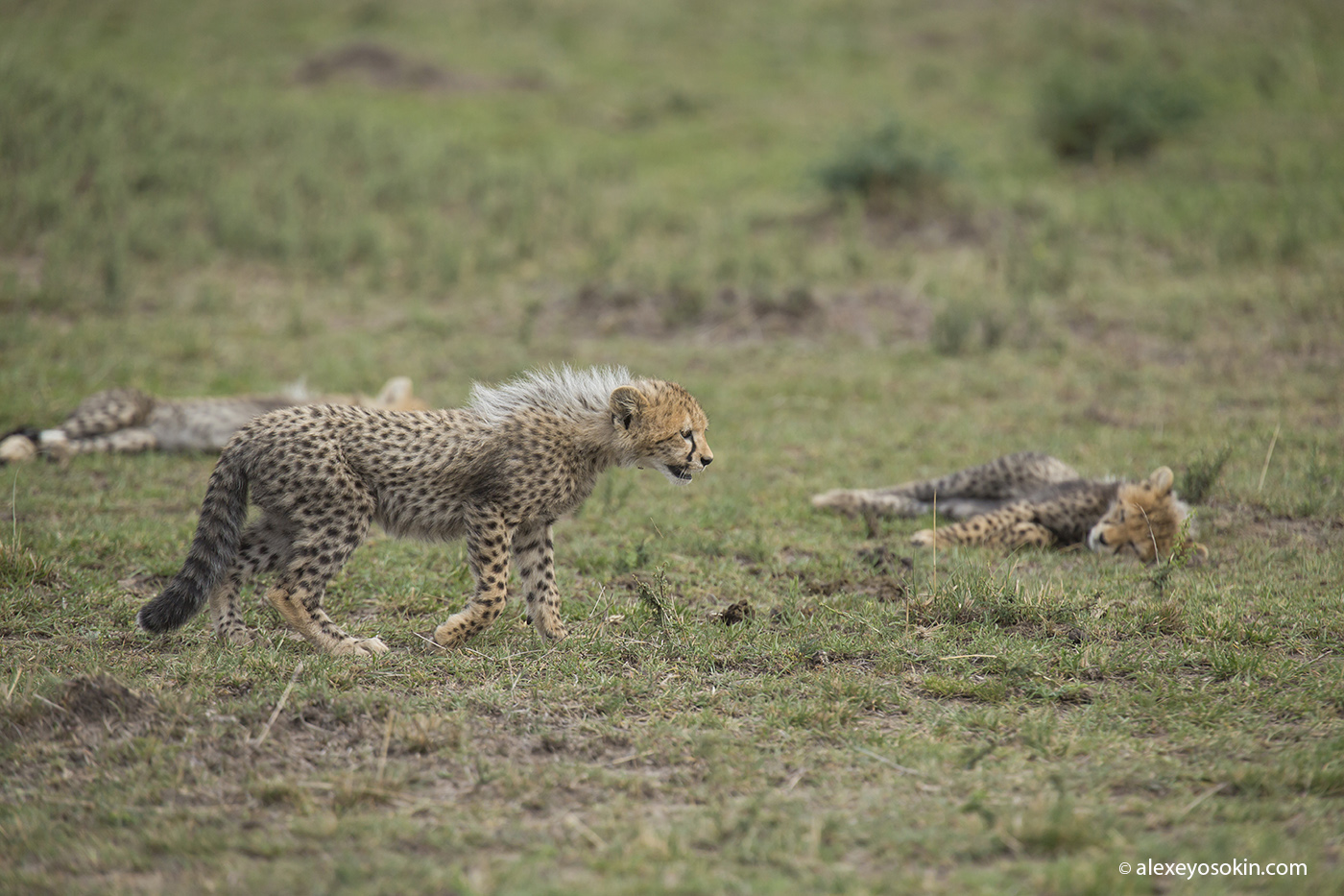 cheeta_cubs_03_ao