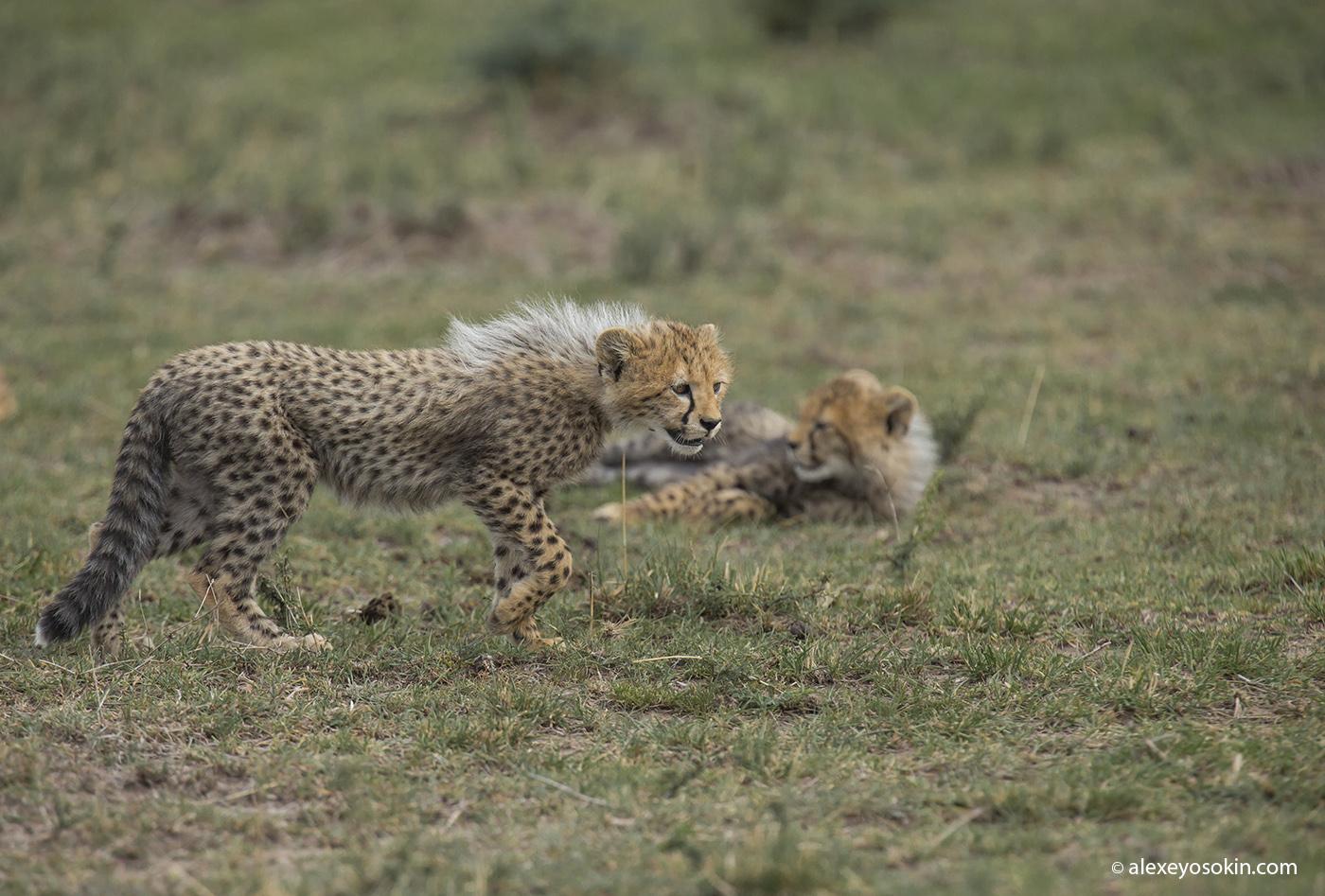 cheeta_cubs_04_ao