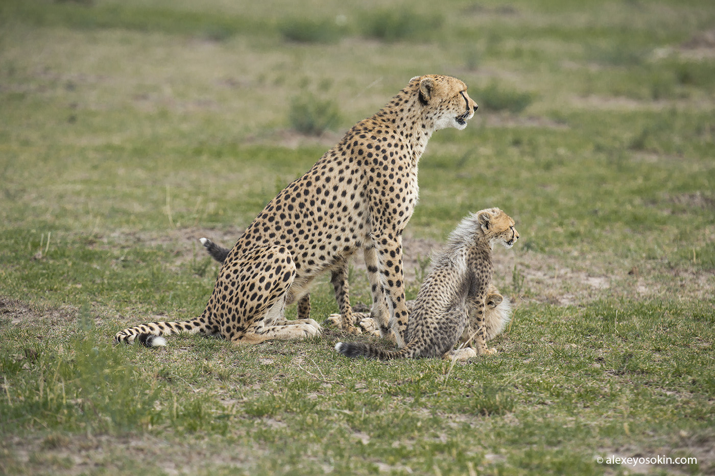cheeta_cubs_05_ao