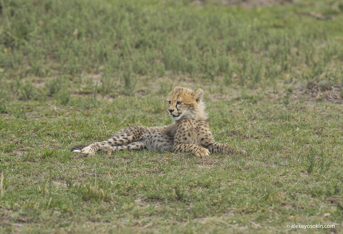 cheeta_cubs_06_ao