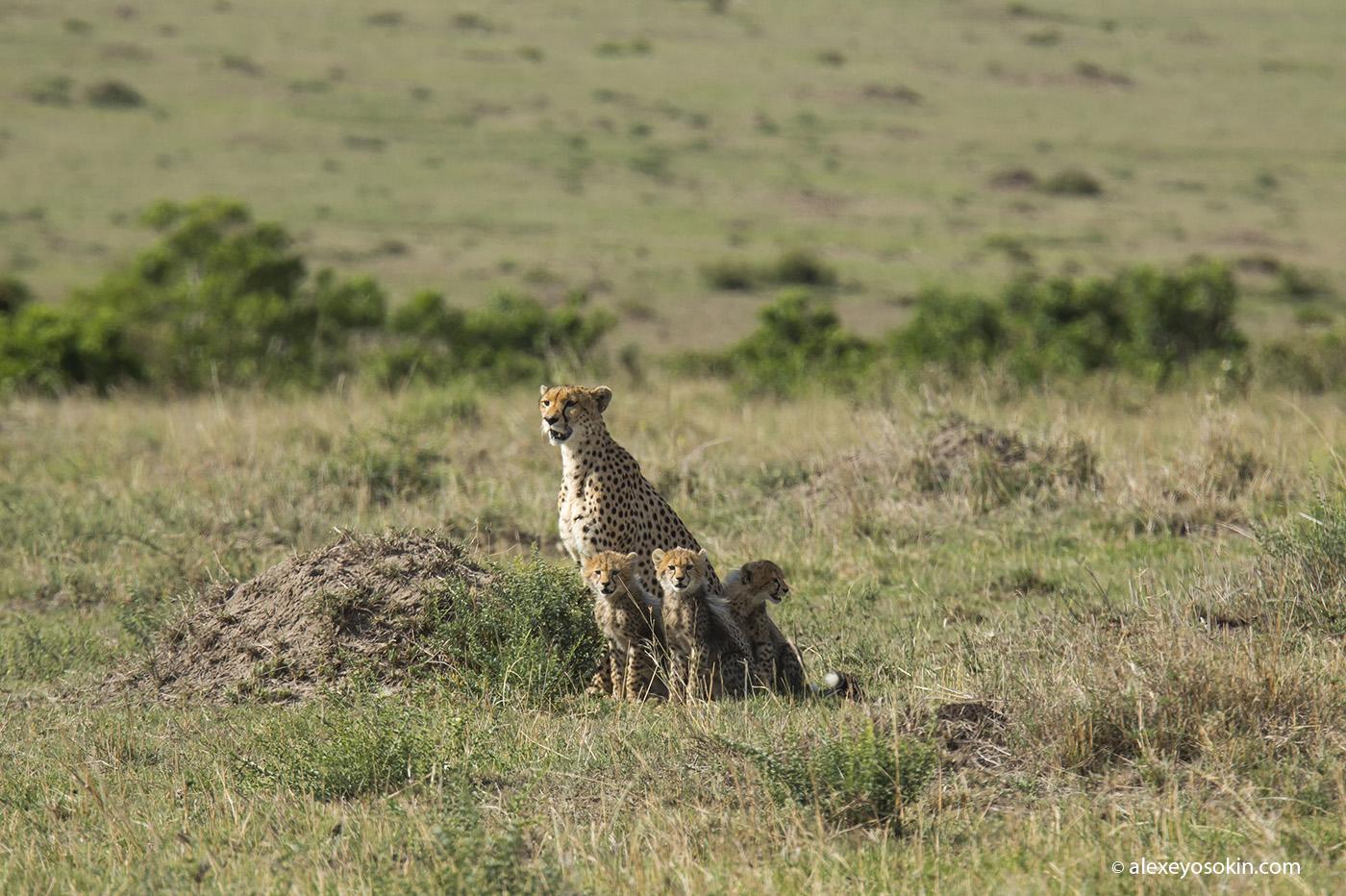 cheeta_cubs_08_ao