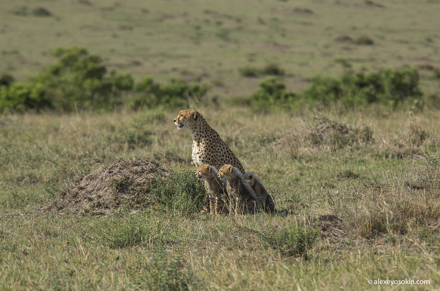 cheeta_cubs_09_ao