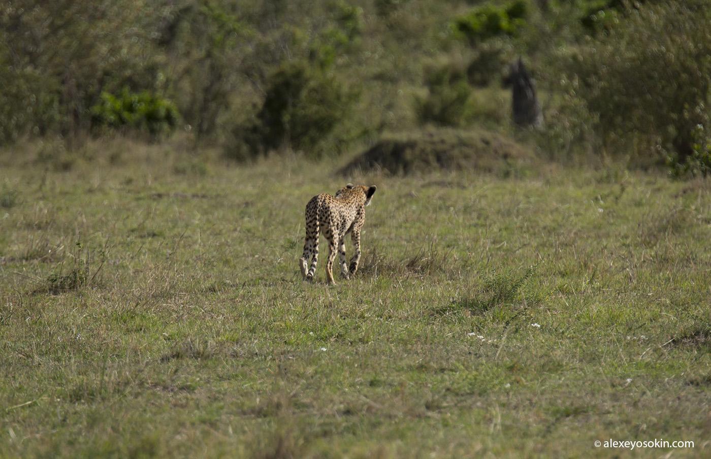 cheeta_cubs_10_ao