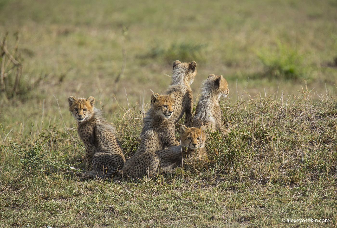 cheeta_cubs_11_ao