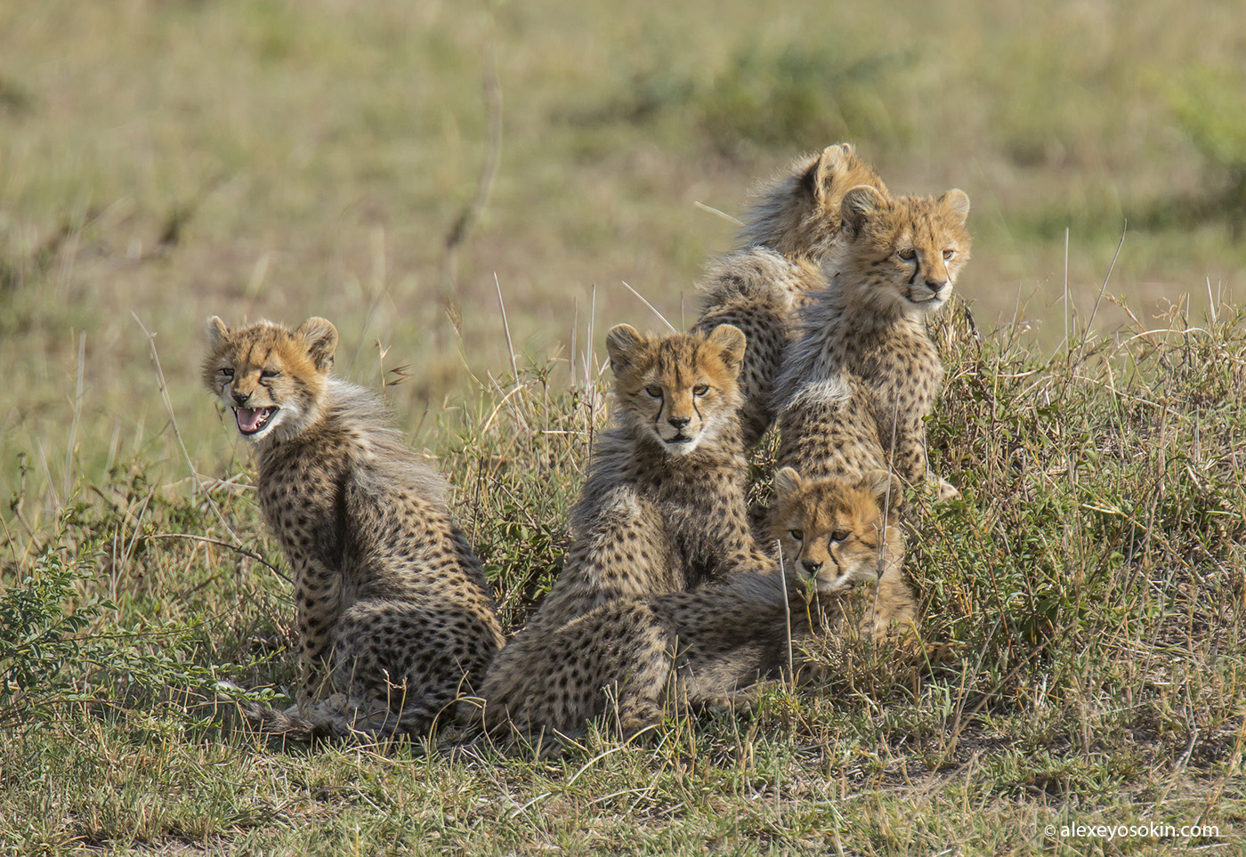 cheeta_cubs_12_ao