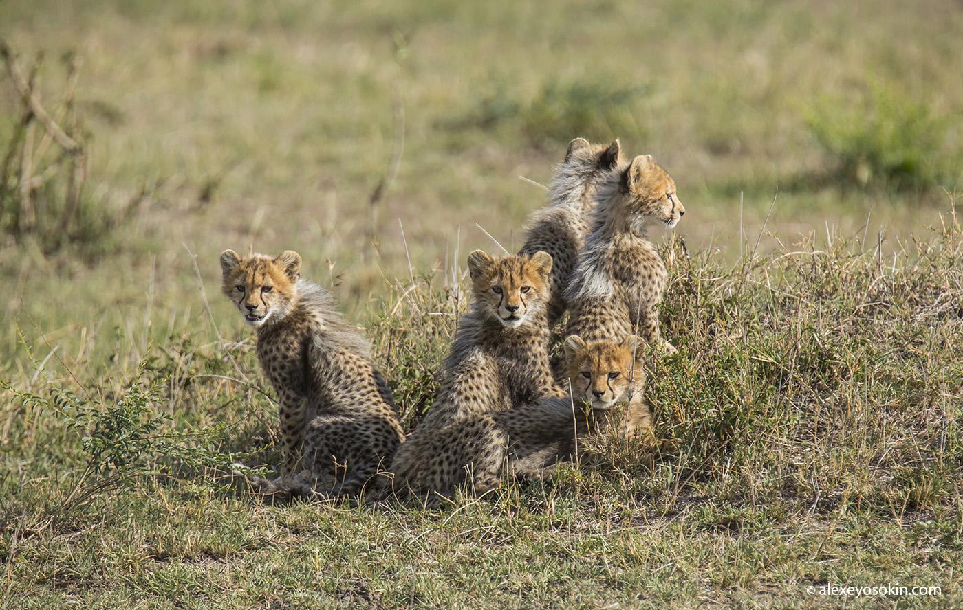 cheeta_cubs_13_ao