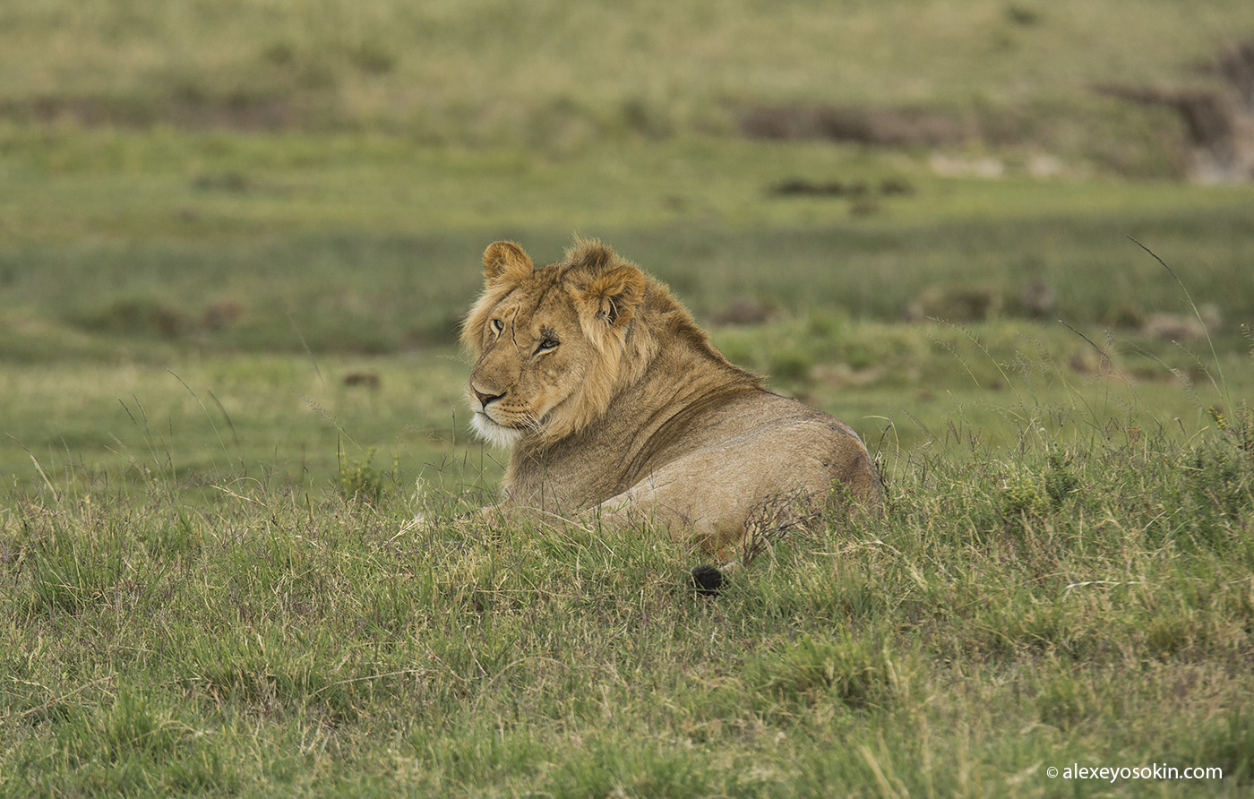 lion_simba_01_ao