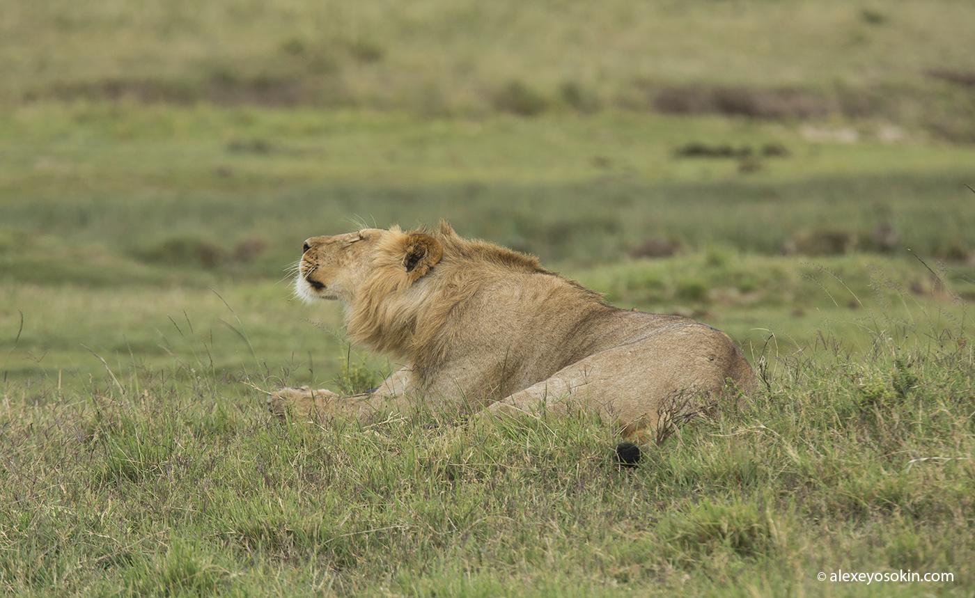 lion_simba_02_ao