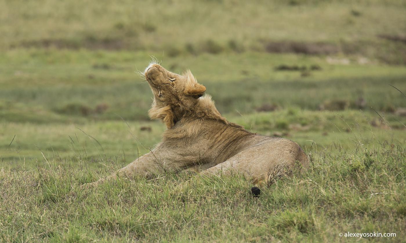 lion_simba_03_ao