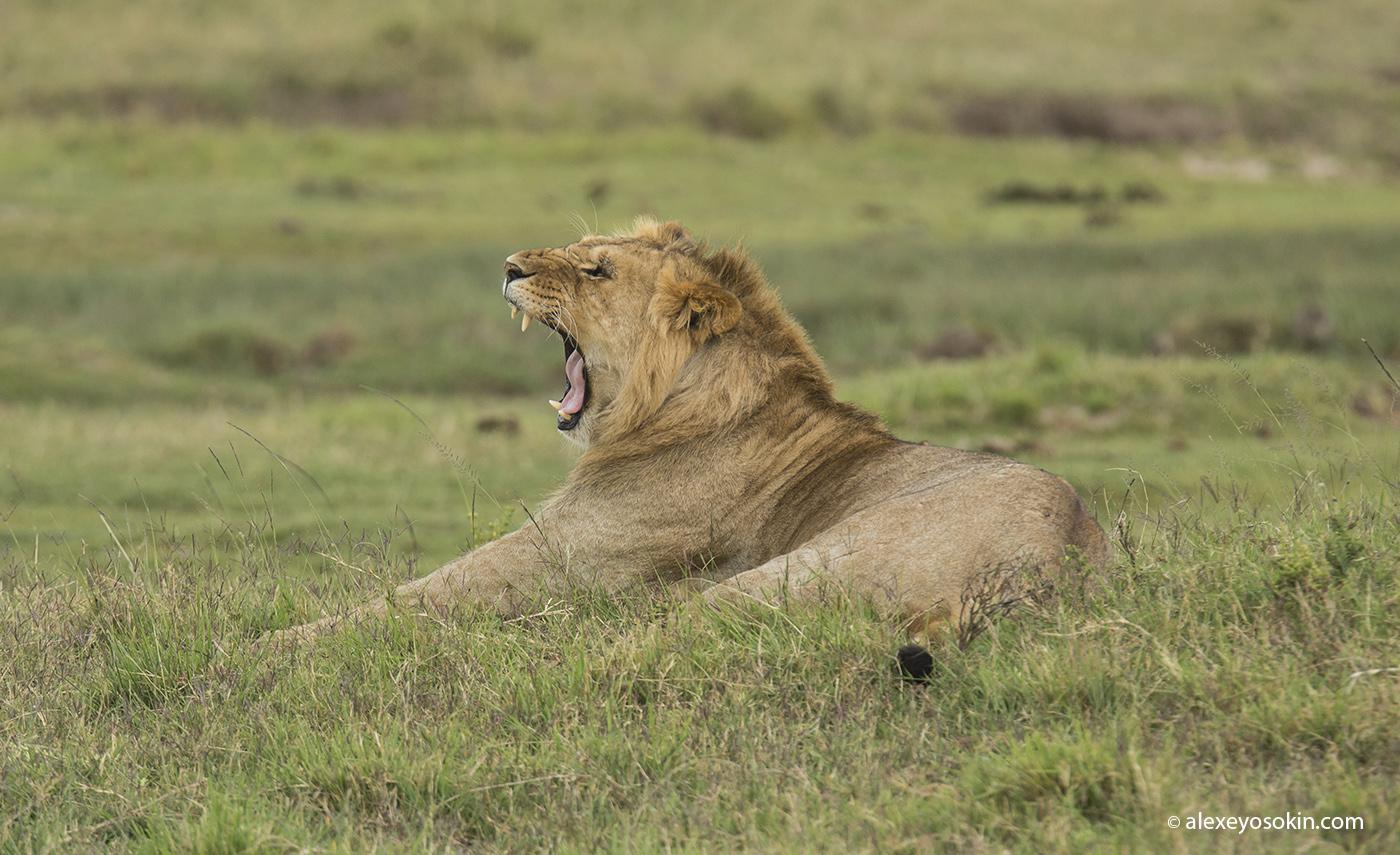 lion_simba_05_ao