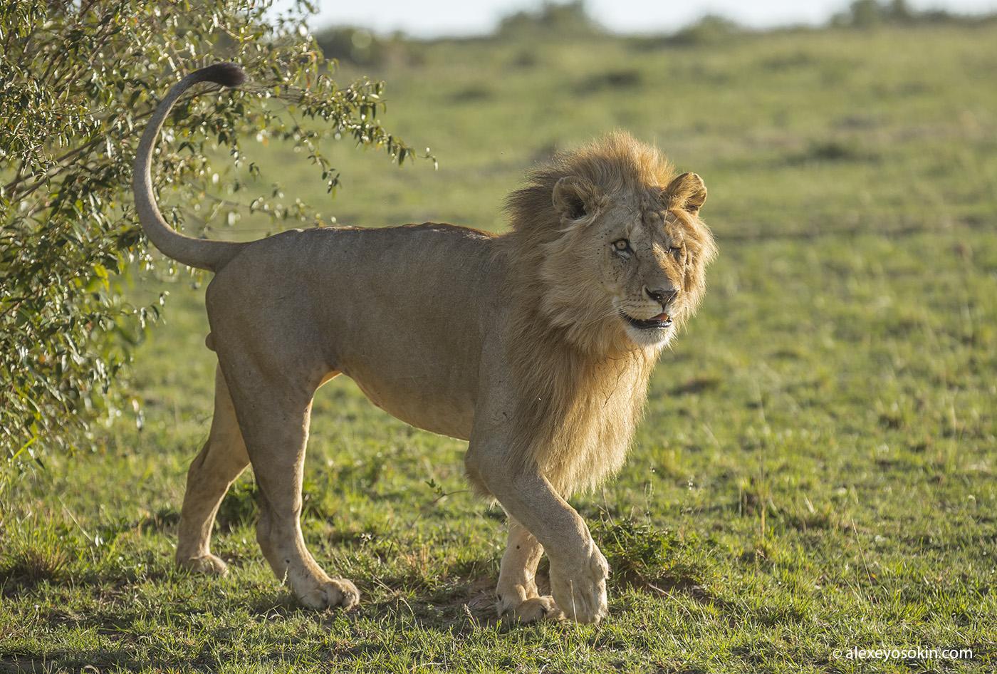 lion_one_1_ao
