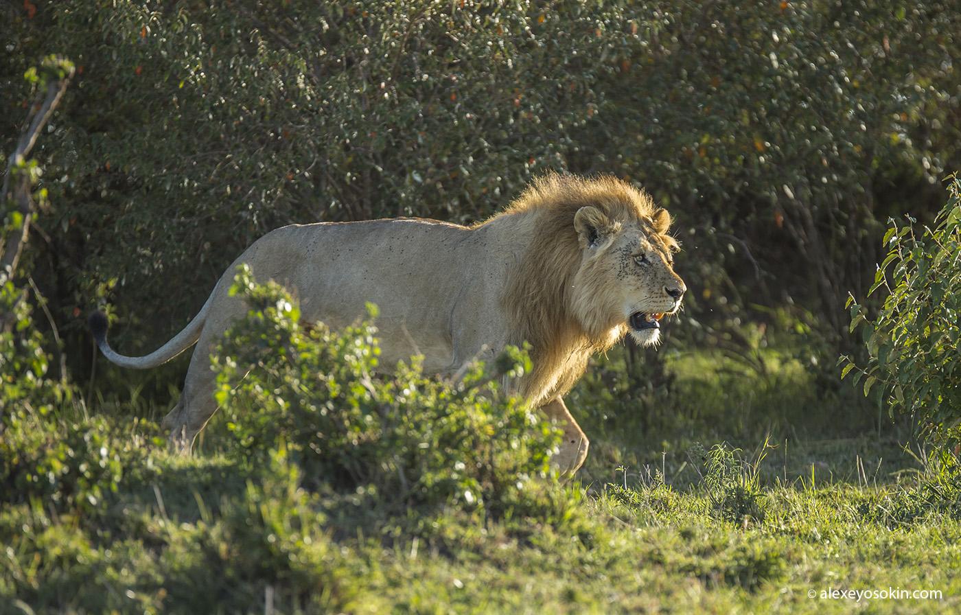 lion_one_2_ao
