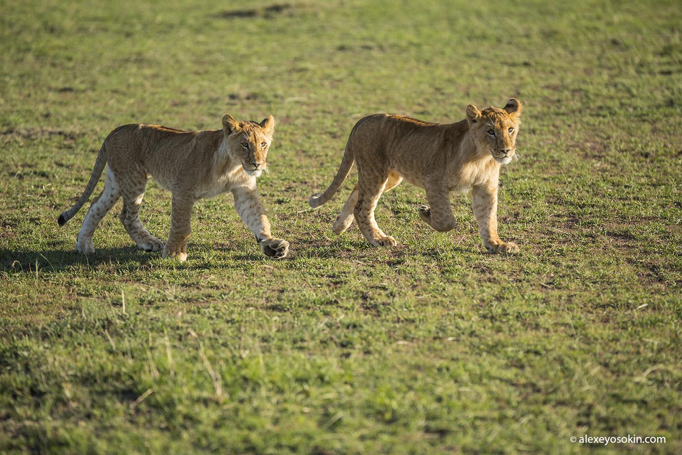 lion_one_5_ao