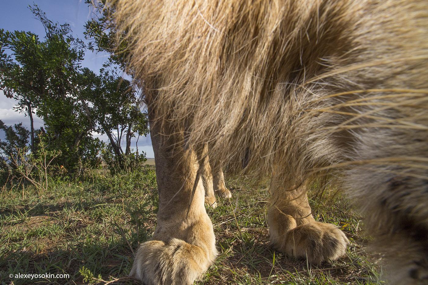 lion_6_foot_2_ao