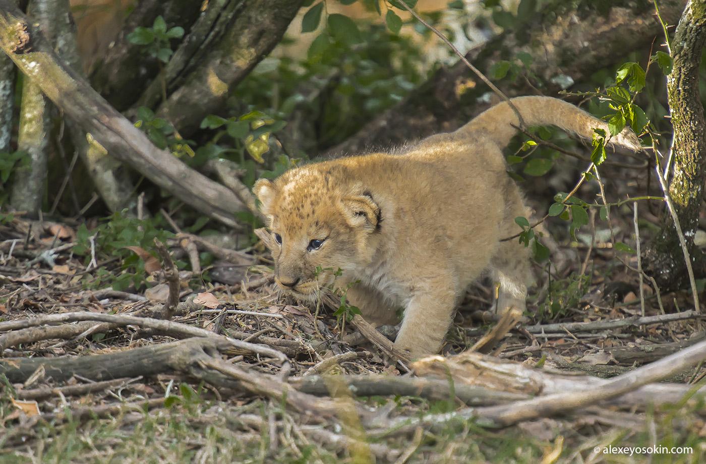new_lion_2_ao