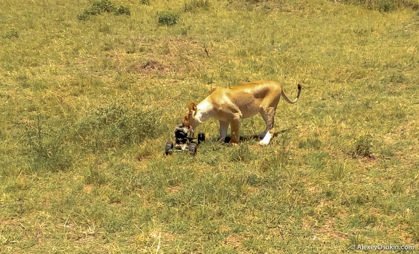 lions+canon3