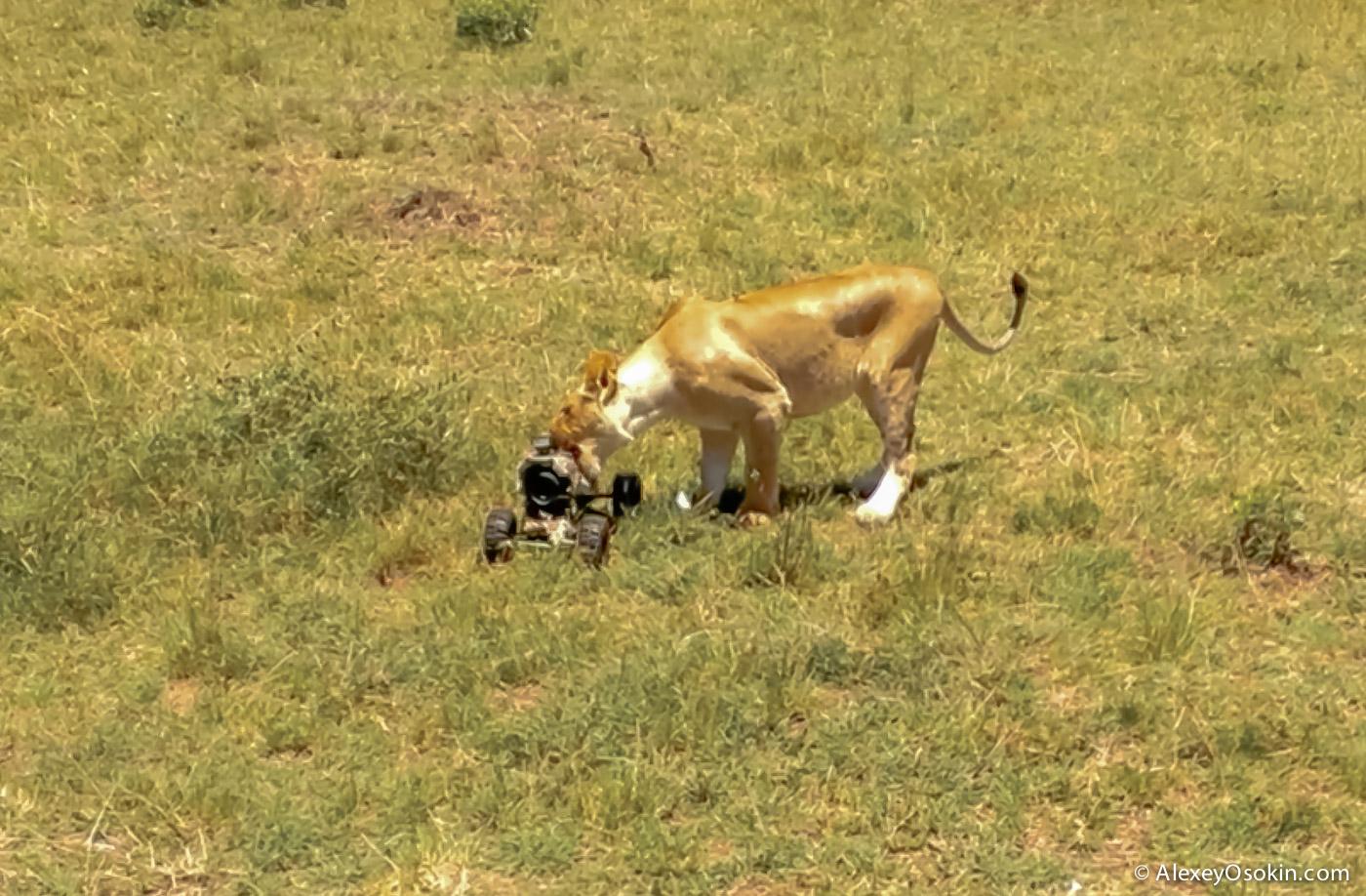 Шпионы-натуралисты lions+canon4