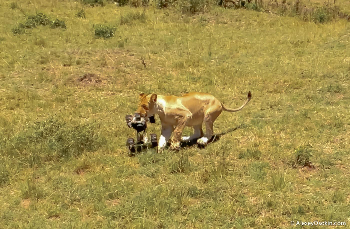 lions+canon6