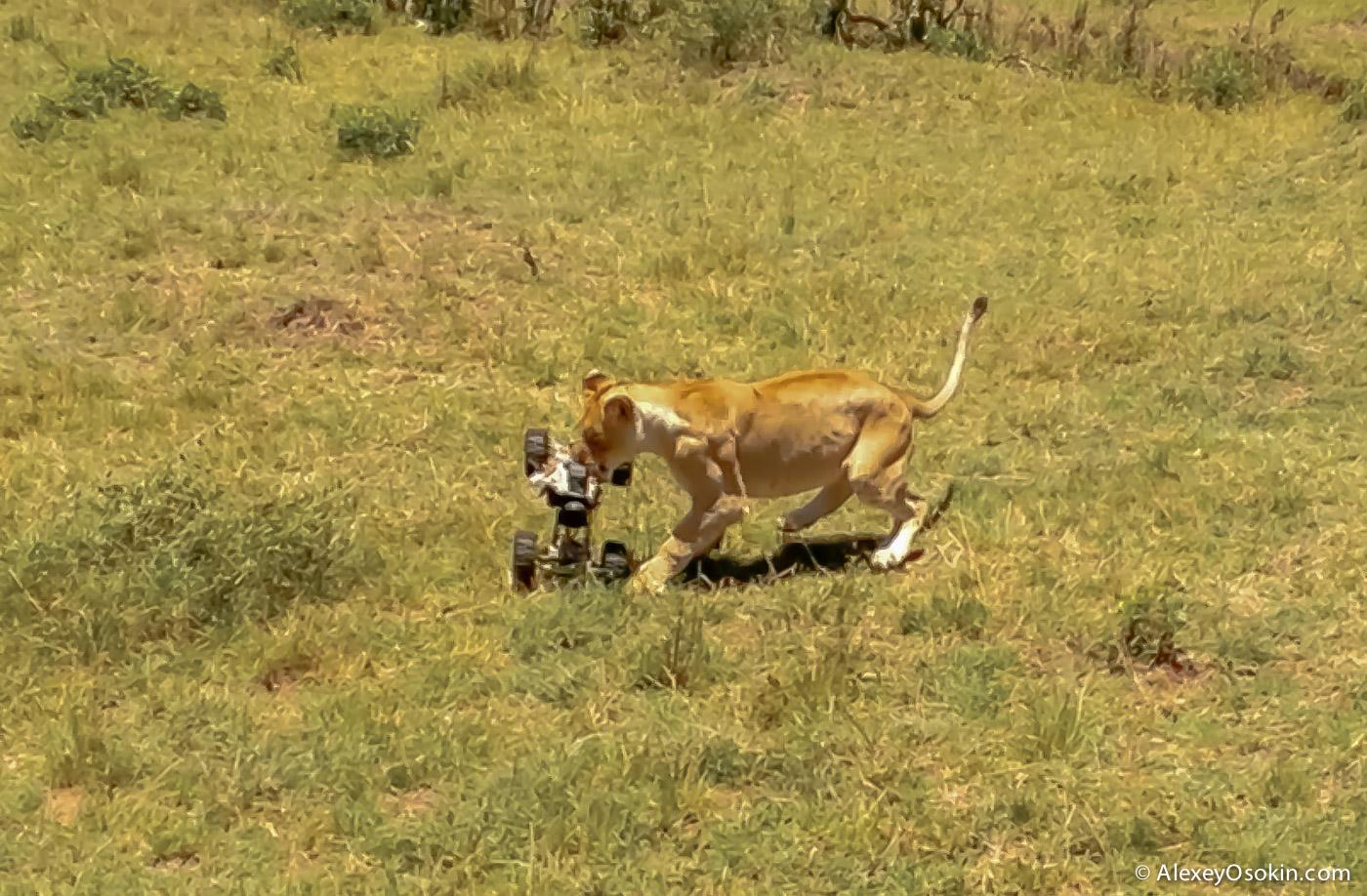 lions+canon8