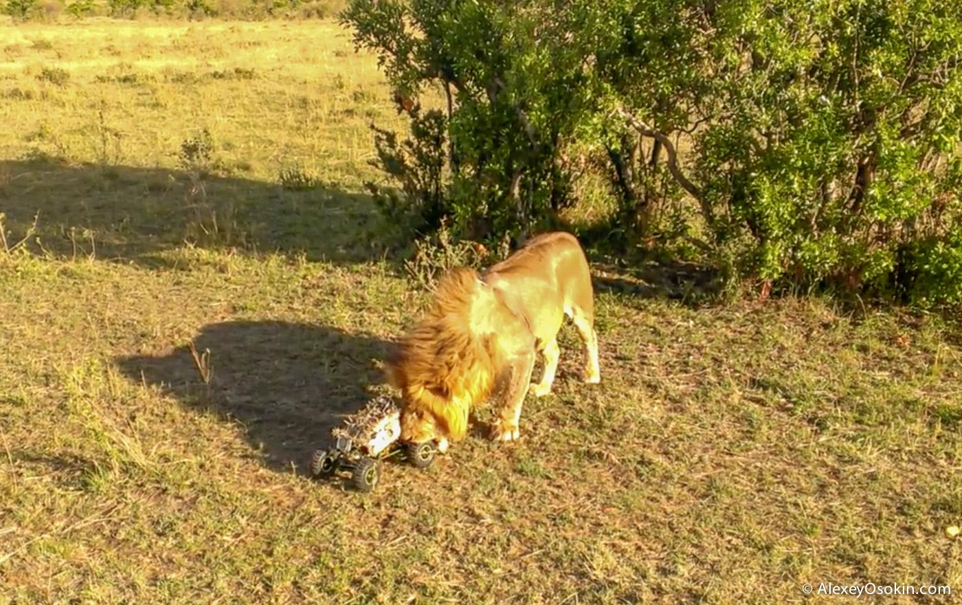 lions+canon13