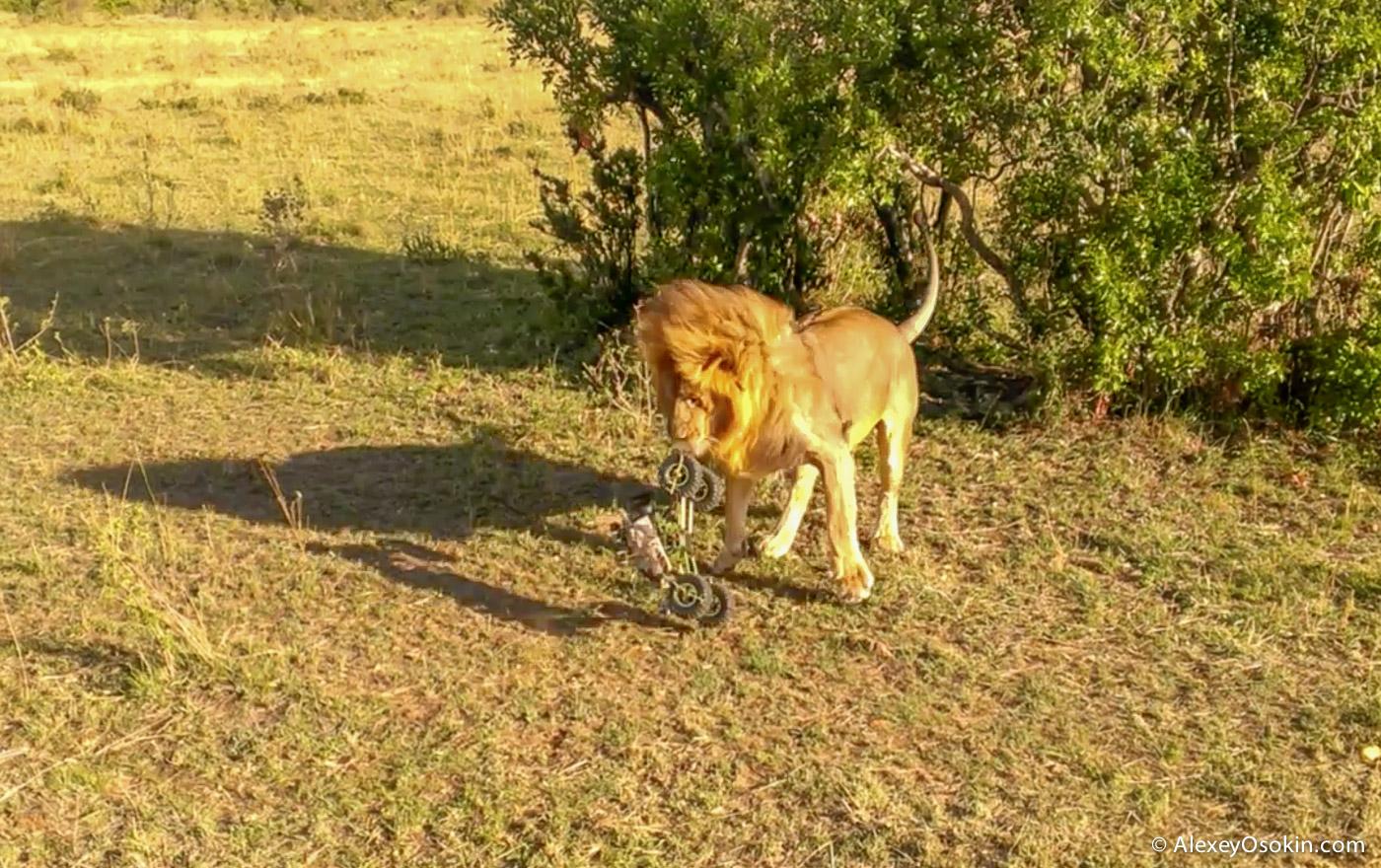 lions+canon14