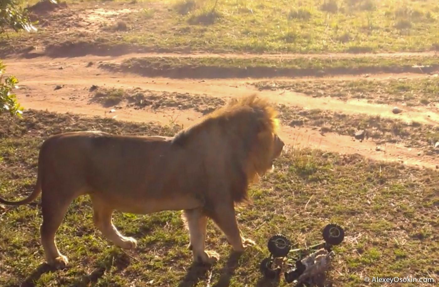 lions+canon17