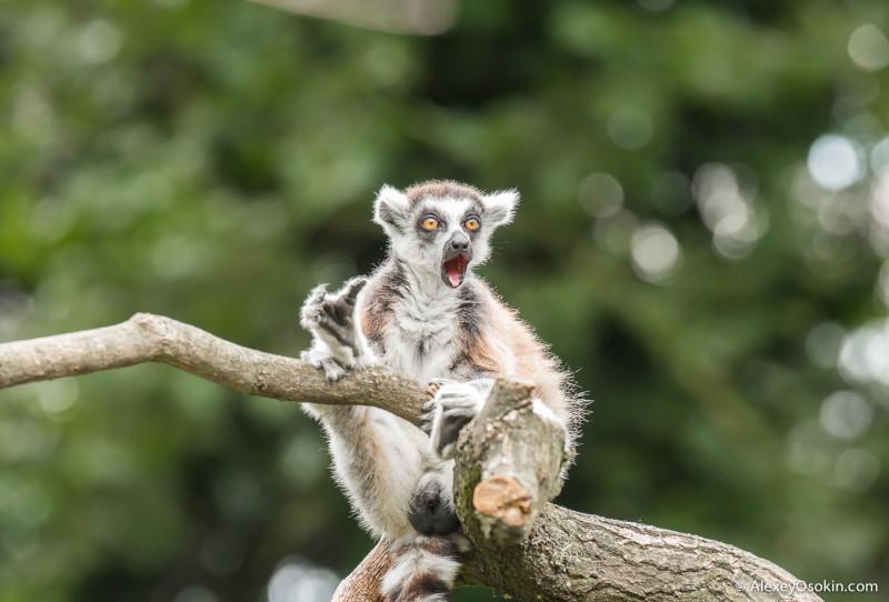lemurs_-20.jpg