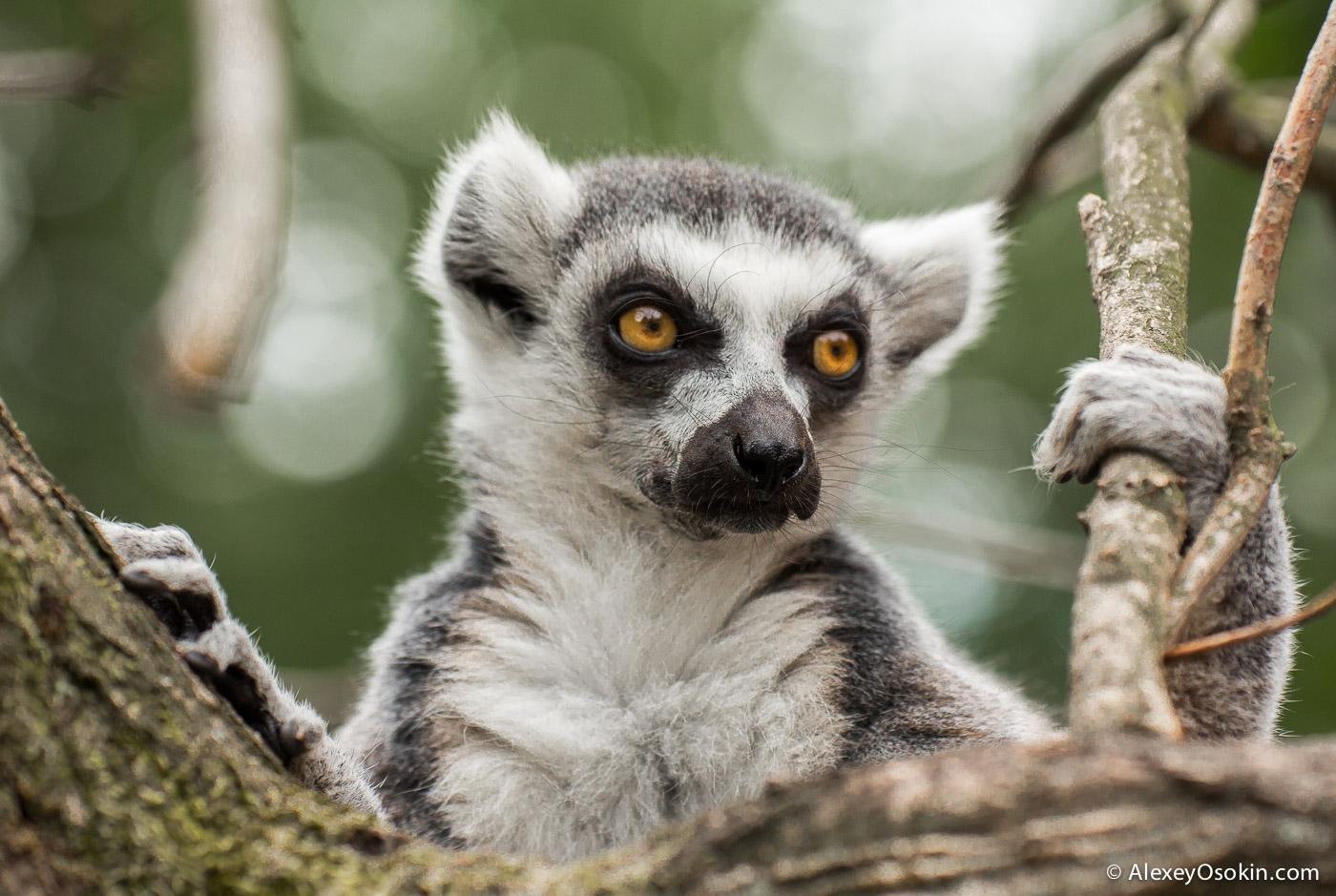 lemurs_-11.jpg