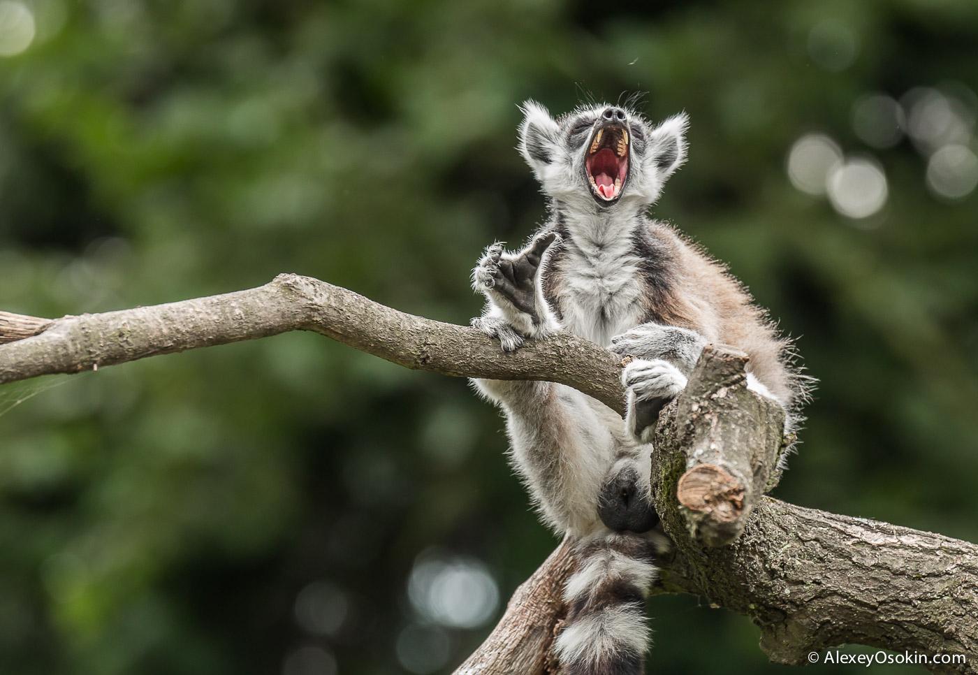 lemurs_-18.jpg