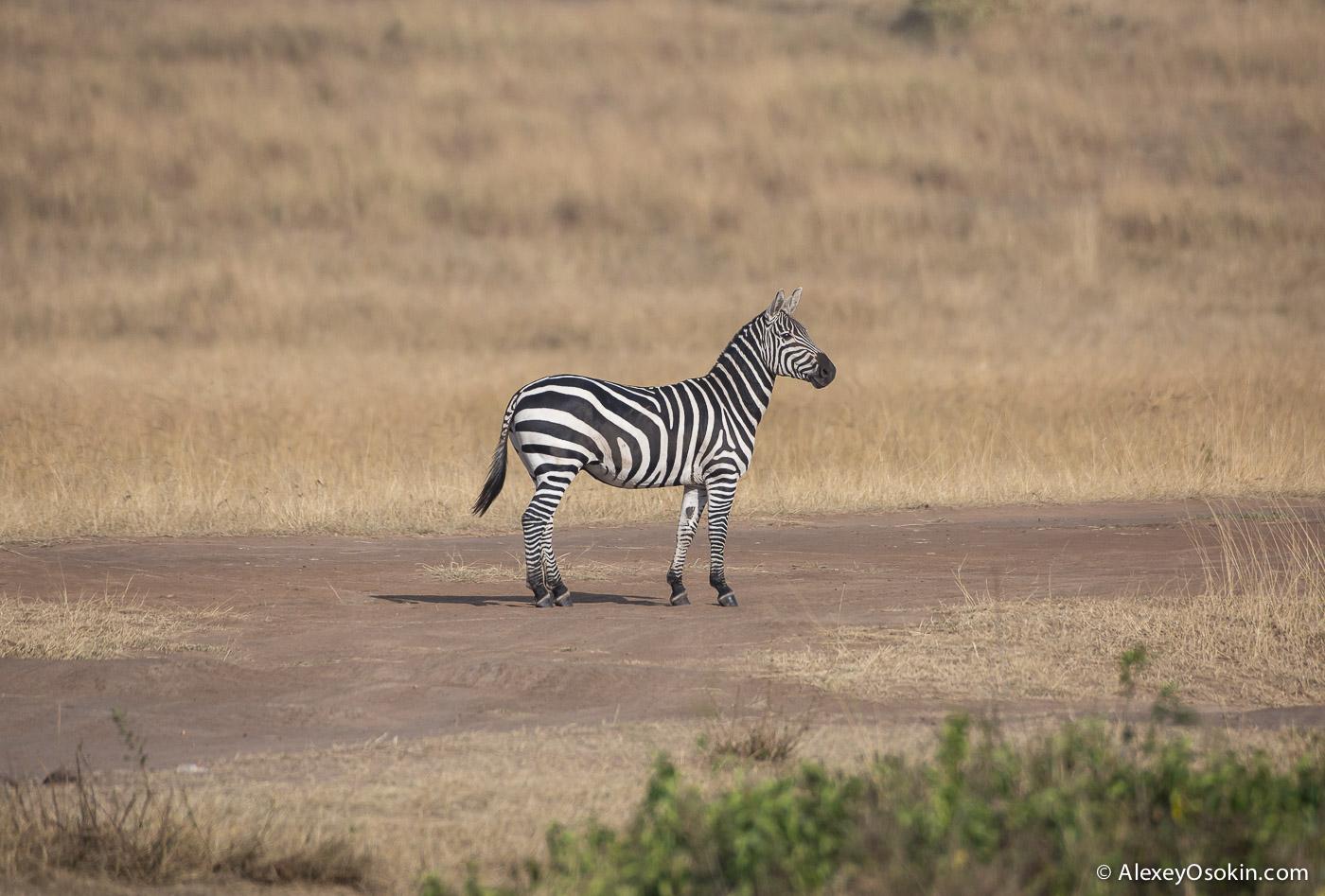 zebras_aug.2015_ao-0.jpg