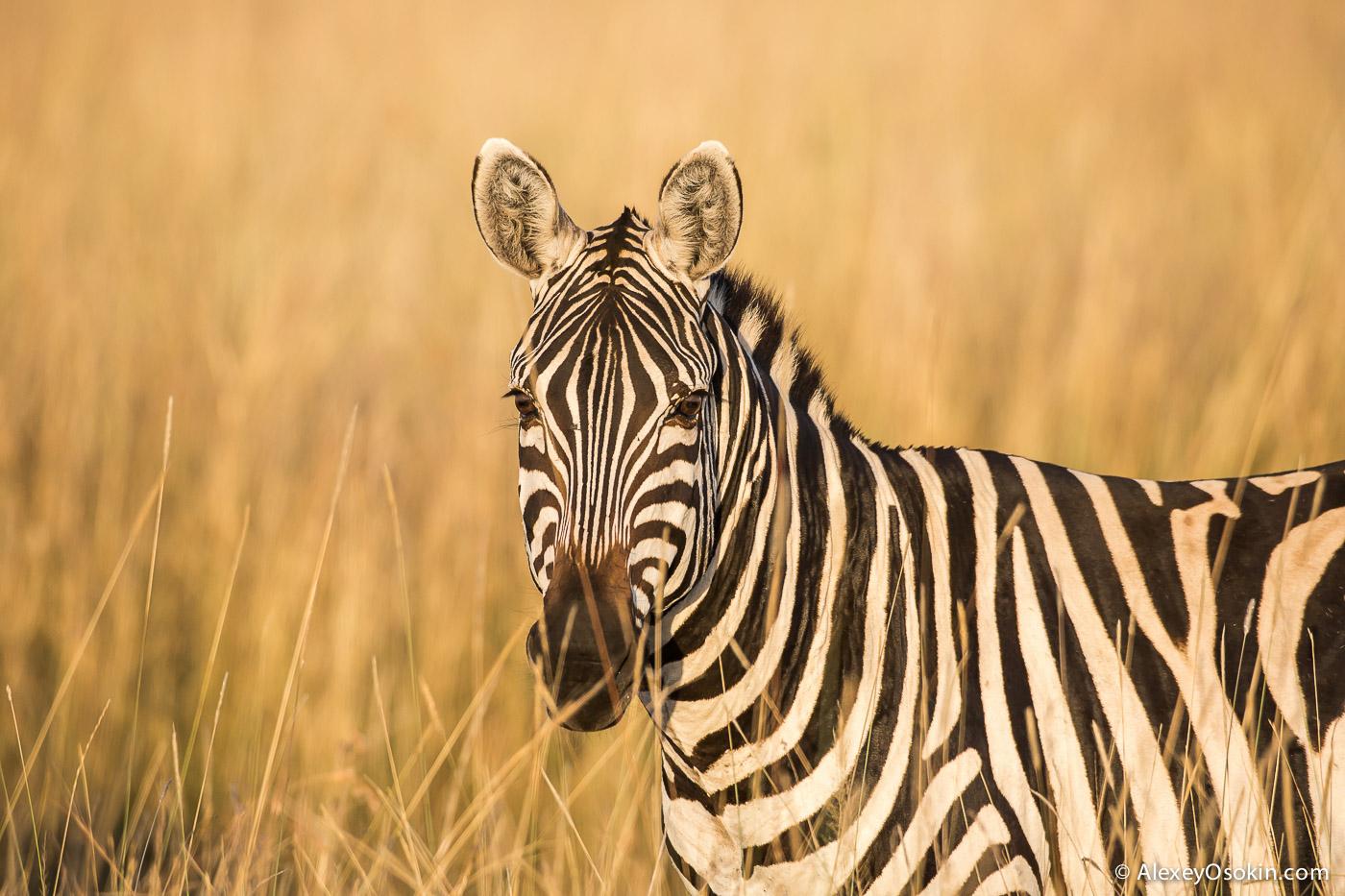 zebras_aug.2015_ao-2.jpg