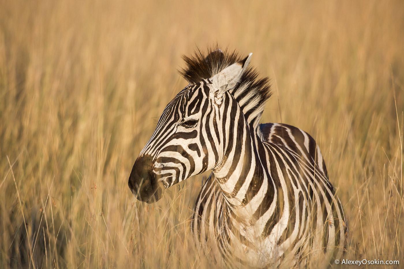 zebras_aug.2015_ao-3.jpg
