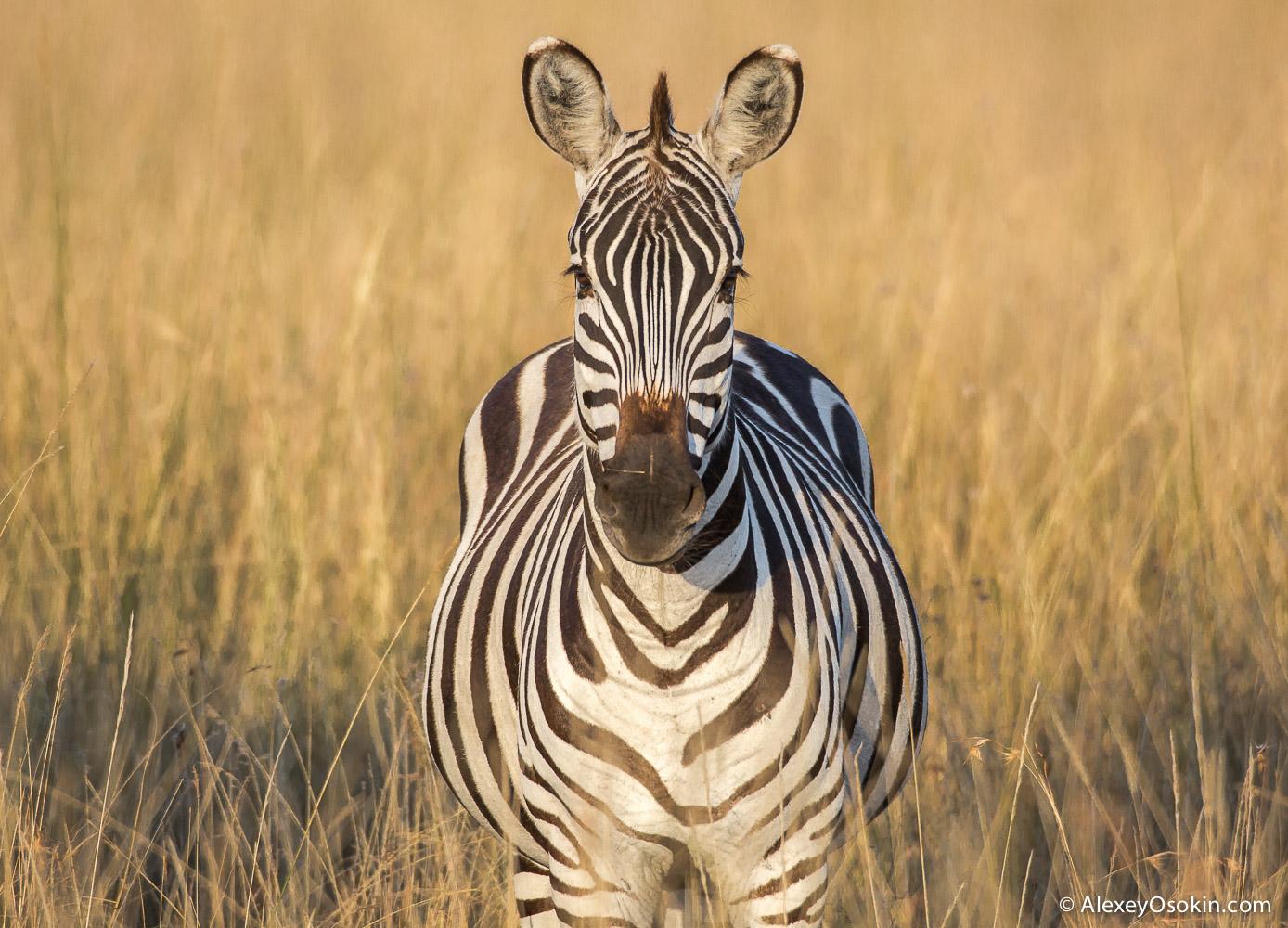 zebras_aug.2015_ao-5.jpg