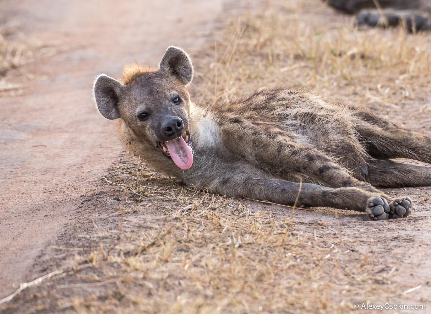 kenya - hyena_ao, aug.2015-4.jpg